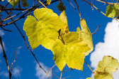 Yellow grape leaves against blue sky — Stock Photo