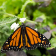 Monarch butterfly feeding on a white flower — Stock Photo