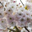 Cherry blossoms in full bloom — Stock Photo #16845065