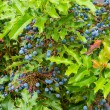 Mahonia aquifolium Oregon grape holly - Stock Photo