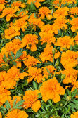 Marigold flowers on display — Stock Photo