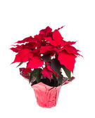 Red poinsettia isolated on white — Stock Photo