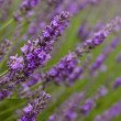 Stock Photo: Lavender flowers in field