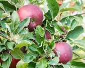 Jonathan apples in a tree — Stock Photo