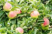 WInter Banana apples in the tree — Stock Photo