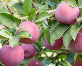 Empire apples in the apple tree — Stock Photo