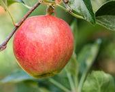 Single Gala apple in an apple tree — Stock Photo