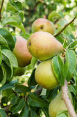 Russet pears growing in the orchard — Stock Photo
