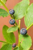 Wild Huckleberries on the bush — Stock Photo