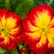 Striking primrose flowers in bloom — Stock Photo