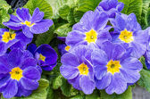 Two blue flowering primrose plants — Stock Photo