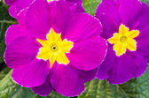 Flowering primrose blossoms with leaves — Stock Photo