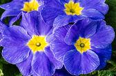 Blå primrose blommor i full blom — Stockfoto