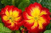 Llamativas flores primavera en flor — Foto de Stock