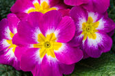 Magenta primrose flowers in full bloom — Stock Photo