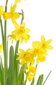 Yellow daffodil flowers as a border — Stock Photo