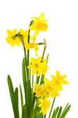 Yellow daffodil flowers in full bloom — Stock Photo