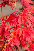 Bright red fall leaves — Stock Photo