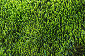 Green moss texture for background — Stock Photo