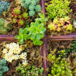 Sedum plants used for green roof applications — Stock Photo #24950969