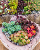 Sedum plants used for green roof applications — Stock Photo
