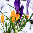 Crocus flowers blooming in the snow — Stock Photo #25497801