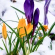 Crocus flowers blooming in the snow — Stock Photo
