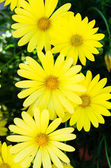 Bright yellow daisies in bloom — Stock Photo