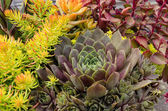 Sedum plants used for sustainable plantings — Stock Photo