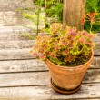 Variegated geranium in a clay pot — Stock Photo