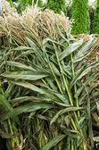 Corn stalks bundled for sale — Stock Photo