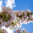 Cherry blossom branch against blue sky — Stock Photo