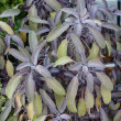 Stock Photo: Purple sage herbs growing in garden