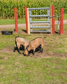 Pygmy goats in a pasture — Stock Photo