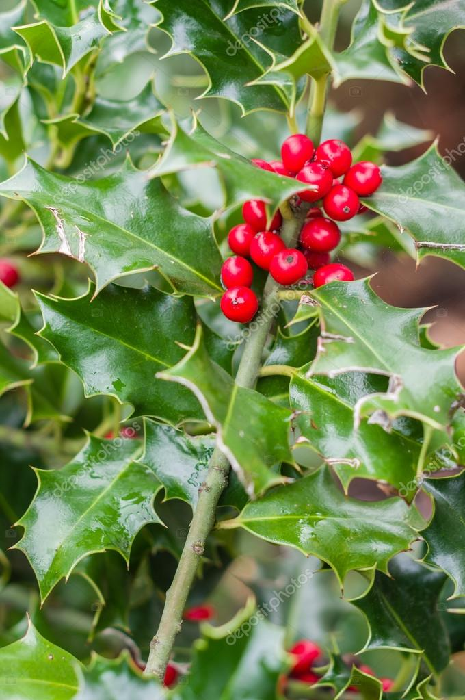 Holly Bush Tree Holly Bush Showing Red Berries