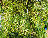 Port Orford Cedar boughs for decoration — Stock Photo