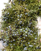 Juniper greens with berries for decoration — Stock Photo