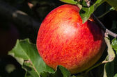 Red apple on apple tree — Stock Photo