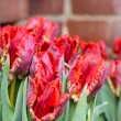 Постер, плакат: Red parrot tulips in bloom