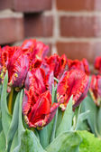 Red parrot tulips in bloom — Stock Photo