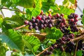 Coffeee berries ripening on the bush — Stock Photo