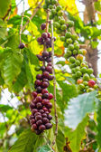 Coffeee berries ripening on the bush — Stock Photo