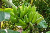 Banana plant with green bananas — Stock Photo