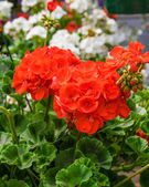Bright red geranium flower — Stock Photo