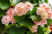 Colorful begonia plants in bloom — Stock Photo