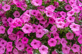 Colorful Petunis flower plants in bloom — Stock Photo