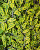 Variegated sage plant leaves herb — Stock Photo