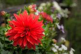 Dahlia blossom in a planter — Stock Photo