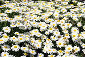 White daisy flowers in a meadow — Stock Photo