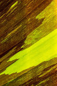 Variegated banana leaf for background — Stock Photo